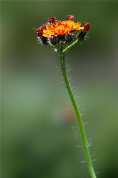 Pilosella aurantiaca (L.) F.W.Schultz & Sch.Bip.