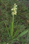 Photo 2/4 Dactylorhiza insularis (Sommier ex Martelli) Landwehr