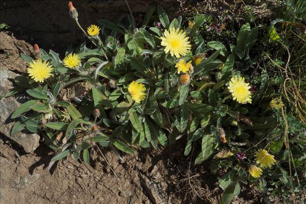 Pilosella peleteriana (Mérat) F.W.Schultz & Sch.Bip.