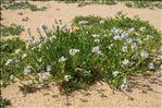 Cakile maritima subsp. integrifolia (Hornem.) Hyl. ex Greuter & Burdet