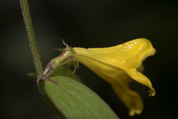 Melampyrum subalpinum (Jur.) A.Kern.