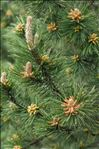 Pinus nigra J.F.Arnold