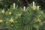 Photo 1/1 Pinus nigra J.F.Arnold