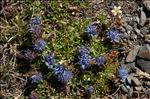 Jasione crispa (Pourr.) Samp. subsp. crispa
