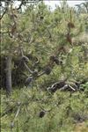 Pinus pinaster Aiton