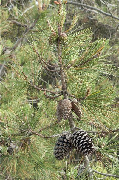 Pinus pinaster subsp. hamiltonii (Ten.) Villar