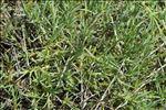 Dianthus pyrenaicus subsp. attenuatus (Sm.) Bernal, Laínz & Muñoz Garm.