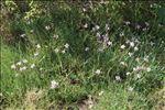 Dianthus pyrenaicus Pourr.