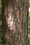 Photo 1/1 Pinus sylvestris L.