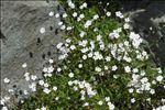 Heliosperma pusillum (Waldst. & Kit.) Rchb. subsp. pusillum