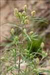 Plantago arenaria Waldst. & Kit.