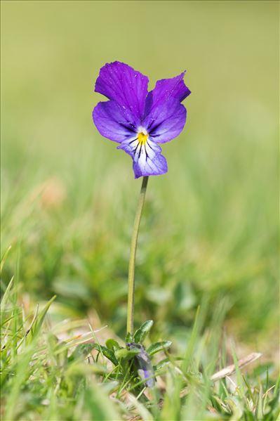 Viola lutea Huds. subsp. lutea