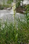 Photo 10/10 Platanthera bifolia (L.) Rich.