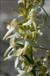 Photo 8/10 Platanthera bifolia (L.) Rich.