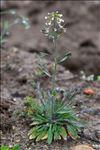Arabidopsis thaliana (L.) Heynh.
