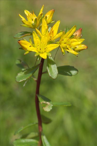 Phedimus hybridus (L.) 't Hart