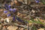 Photo 2/4 Polygala vulgaris L.