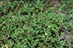 Photo 1/1 Polygonum aviculare L.