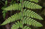 Polystichum setiferum var. hastulatum (Ten.) Hayek