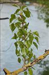 Populus nigra L.