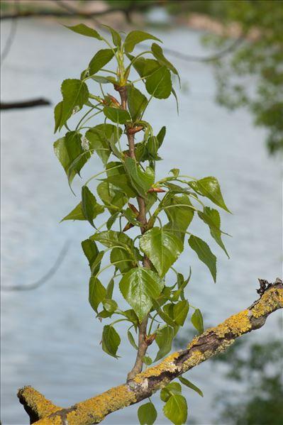 Populus nigra subsp. betulifolia (Pursh) W.Wettst.