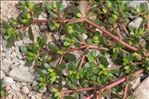 Photo 1/2 Portulaca oleracea L.