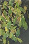 Potamogeton nodosus Poir.