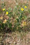 Photo 3/4 Potentilla argentea L.