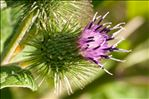 Photo 1/2 Arctium minus (Hill) Bernh.