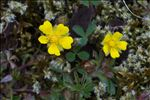 Photo 1/3 Potentilla verna L.