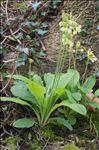 Primula elatior (L.) Hill