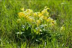 Photo 3/4 Primula veris L.