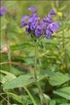 Prunella grandiflora (L.) Schöller
