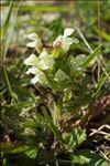 Prunella laciniata (L.) L.