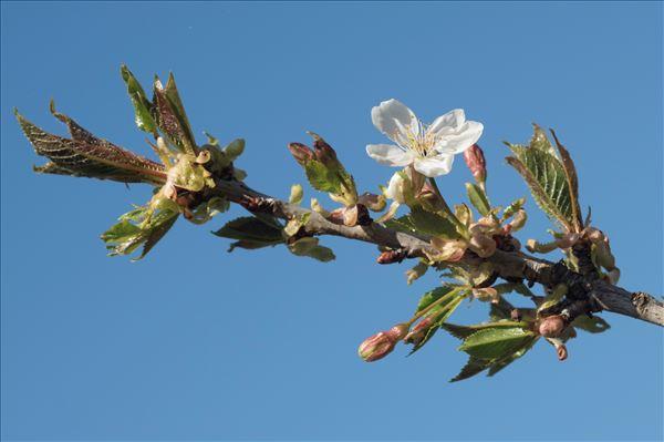 Prunus avium (L.) L. var. avium