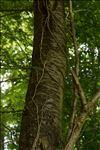 Photo 1/2 Prunus avium (L.) L.
