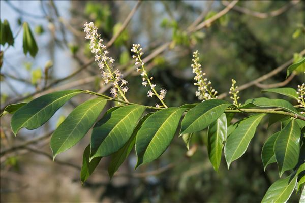 Prunus laurocerasus L.