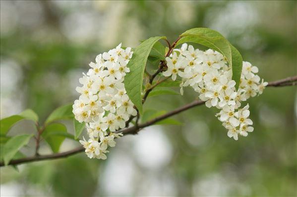 Prunus padus L. var. padus
