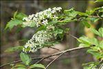 Photo 2/4 Prunus padus L.