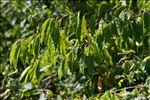 Photo 4/4 Prunus padus L.