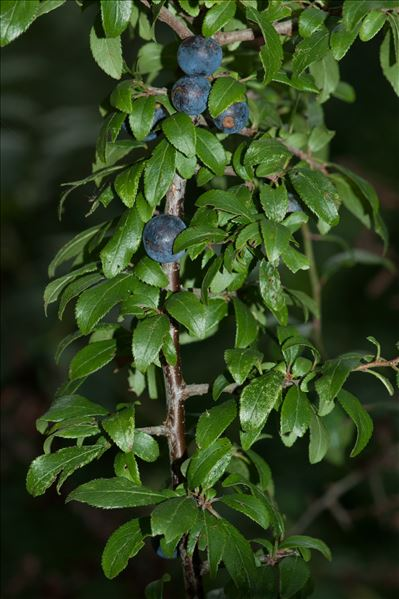 Prunus spinosa L.
