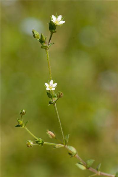 Arenaria serpyllifolia L.
