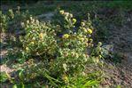 Pulicaria vulgaris Gaertn.