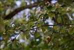 Pyrus communis subsp. pyraster (L.) Ehrh.