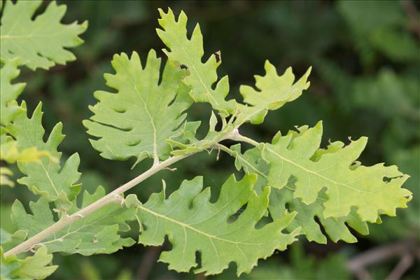 Quercus pubescens Willd. subsp. pubescens