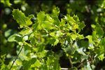 Quercus ilex L.