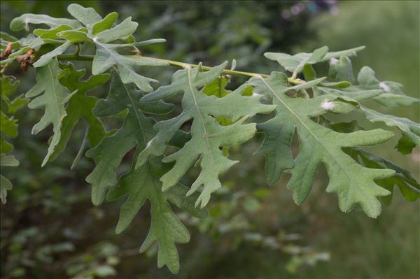 Quercus pyrenaica Willd.