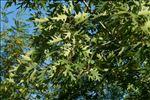 Photo 1/2 Quercus rubra L.