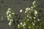 Ranunculus aquatilis L.
