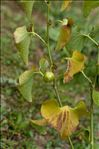 Photo 3/5 Aristolochia clematitis L.